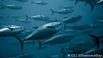 Foto: A swarm of tuna swimming underwater (Foto: CC BY 2.0: TheAnimalDay.org/flickr.com: http://www.flickr.com/photos/theanimalday/7142881913/)