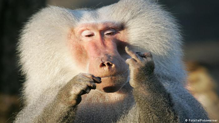 A monkey with big fluffy hair shows its middle finger