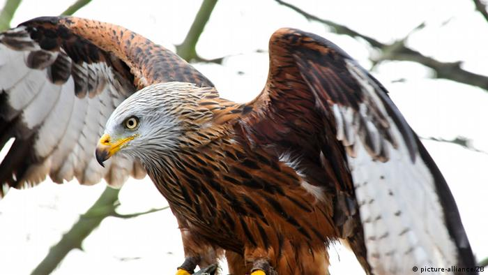 Red kite wings outstretched in Germany