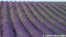 Die Aufnahme zeigt blühende Lavendelfelder in der Provence. Undatiert. +++picture-alliance/ dpa