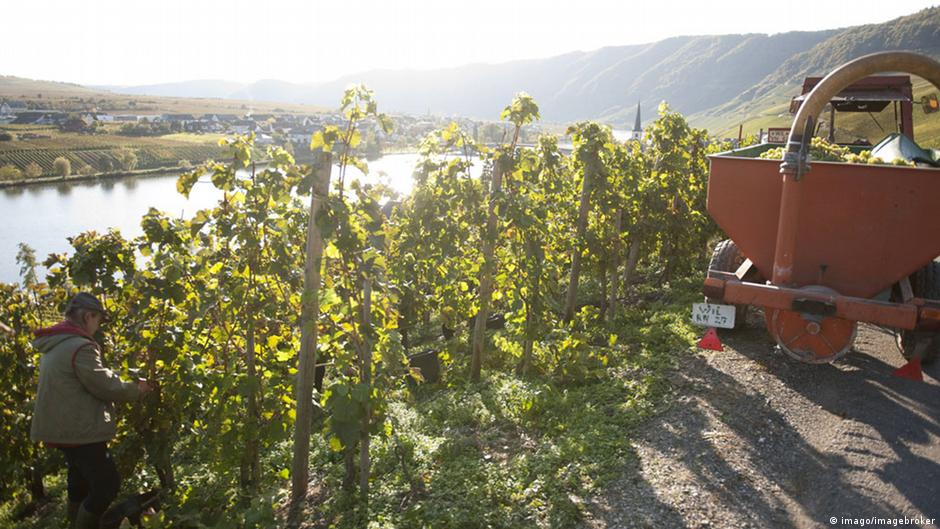 Thieves steal entire vineyard of grapes in Germany