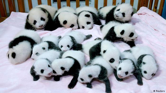 Panda babies Photo: REUTERS/China Daily
