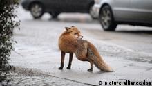 ARCHIV - Ein ausgewachsener Fuchs scheint am Freitag (14.01.2011) Parkplatzprobleme zu haben, als er am Mehringdamm in Berlin-Kreuzberg seinen Weg unterbricht. Foto: Jörg Carstensen/dpa (zu dpa Wildschwein, Marder und Fuchs: Wildtiere im «Schlaraffenland» Stadt vom 14.08.2013) +++(c) dpa - Bildfunk+++
