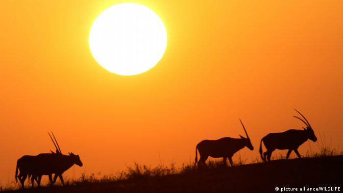 The sun hangs over the silhoutettes of animals on a field