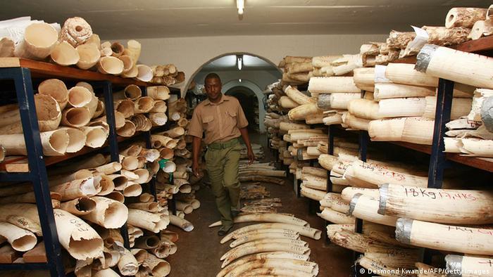 Elephant tusks in Zimbabwe