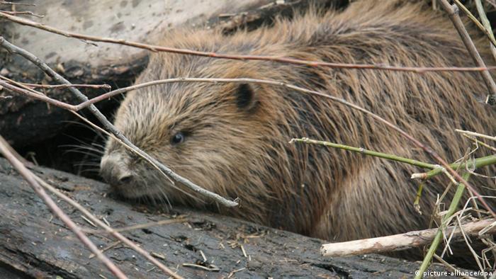 A beaver under sticks