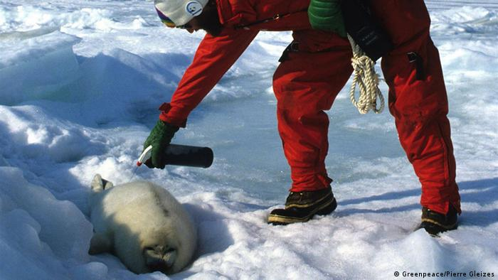 تهیه پالتوهای گرانقیمت از پوستسفید فکهای قطبی نسل این جاندار را با خطر انقراض روبرو کرد. فعالین زیست محیطی با پاشیدن رنگ بر روی پوست آنها مانع شکارشان توسط شکارچیان میشدند.