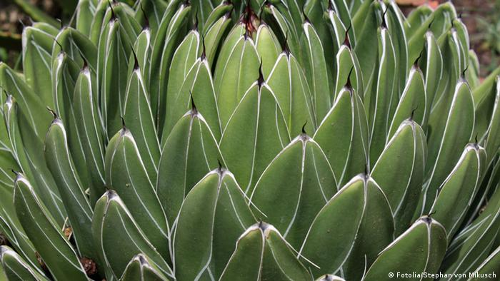 Agaven Agave Pflanze (Fotolia/Stephan von Mikusch)