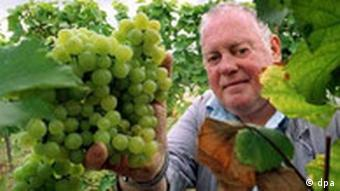 Wine grower picks his grapes in German wine region
