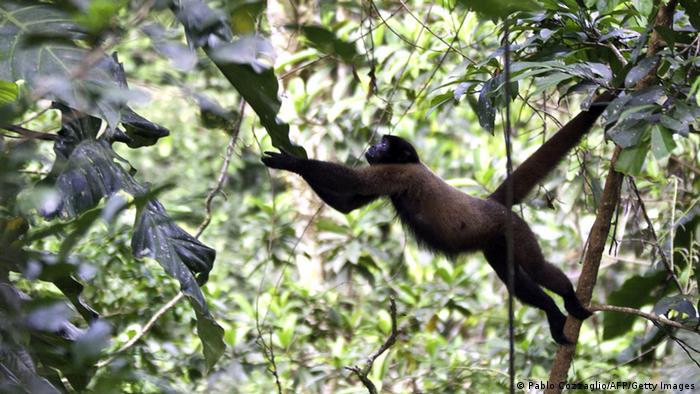 Ecuadors Regierung bewilligt Erdölförderung im Yasuni-Nationalpark Brown woolly monkey (Lagothrix lagotricha) leaps to a liana in the Yasuni National Park, Orellana province, Ecuador, on November 11, 2012. The Yasuni National Park contains Ecuador's largest oil reserves, but its exploitation would imply impacts to pristine ecosystems, particularly watersheds. In 2007, the government of Rafael Correa offered a proposal to ban the exploitation of the Ishpingo-Tambococha-Tiputini (ITT) oil fields in Yasuni, if the world community compensates it, to leave the oil permanently in the ground. AFP PHOTO/Pablo COZZAGLIO (Photo credit should read PABLO COZZAGLIO/AFP/Getty Images)