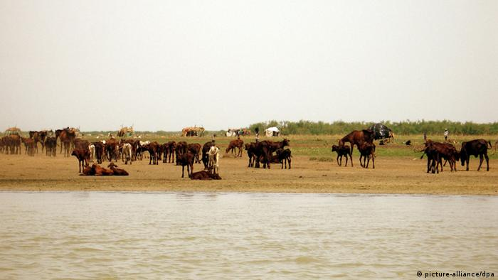 Cattle graze on the banks of Lake Chad. As the area around Lake Chad dries up, cattle herders are moving closer to the lake, altering its ecosystem. One of the largest lakes in the world, central Africa's Lake Chad, is drying up. After four decades of rising temperatures, diminishing rainfall and soaring population growth, a lake that once covered some 9,000 square miles- roughly the area of New Jersey- has shrunk to less than 2 percent of its original size. Today the lake would barely cover Brooklyn and Manhattan. Foto: Shashank Bengali/MCT /Landov +++(c) dpa - Report+++