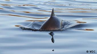 A harbor porpoise swimming in its natural habitat, only its dorsal fin pokes out of the water. Fotograf: WDC