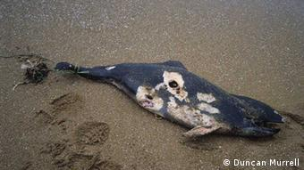 A harbor porpoise lies dead on the beach. It was caught in the netting of gillnet. Fotograf: Duncan Murrell