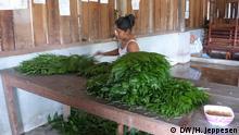 Bevor die Blätter der Xate-Palme für den Export verpackt werden, werden sie von den Frauen im Xaté-Haus im Dorf Carmelita kontrolliert und klassifiziert. 22.09.2013, Dorf-Kooperative Carmelita, El Petén, Guatemala Foto: Helle Jeppesen für DW