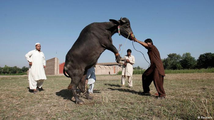 Opferfest in Pakistan 15.10.2013 (Reuters)