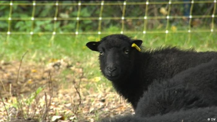Protected by electric fences, sheep can feel safe