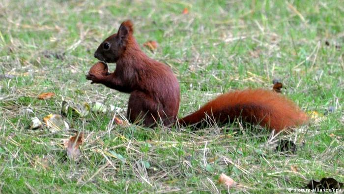 A Red Squirrel chews on an acorn