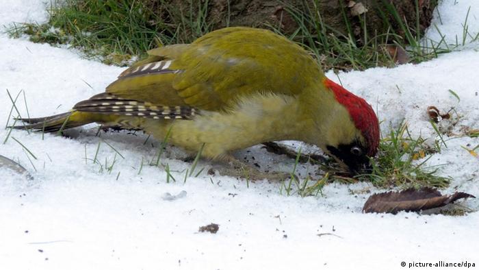Grünspecht Vogel des Jahres 2014 (picture-alliance/dpa)