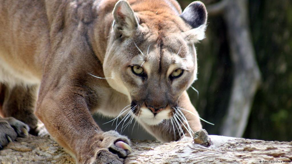 Jogger fights off mountain lion, kills it | News | DW