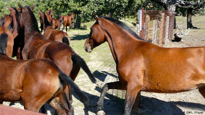 Twenty-three endangered Retuerta horses are shown galloping out into the wild at the Campanarios de Azaba Biological Reserve in western Spain. (Photo: Lauren Frayer / DW)