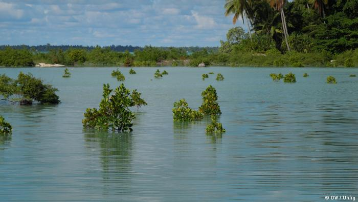 Mangrove trees under water (Foto: DW / Christian Uhlig)