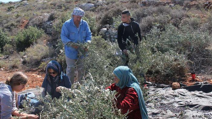 Olivenernte in Palästina