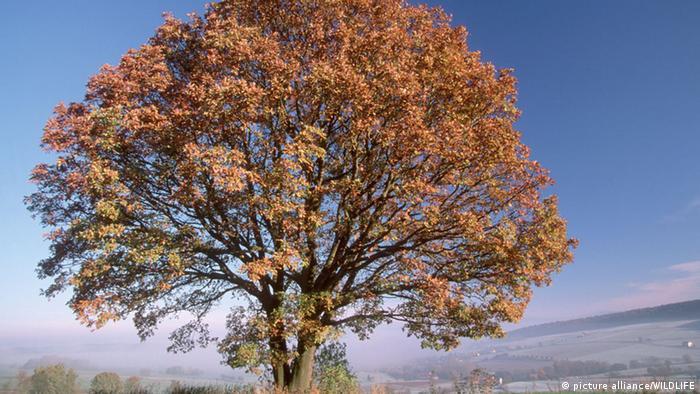 Traubeneiche (Quercus petraea), einzelstehender Baum im Herbst (Foto:picture alliance/WILDLIFE)