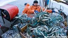 Senkung der Herings-Fangquote