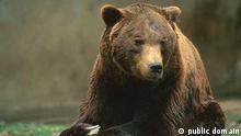 Ein marsikanischer Bär