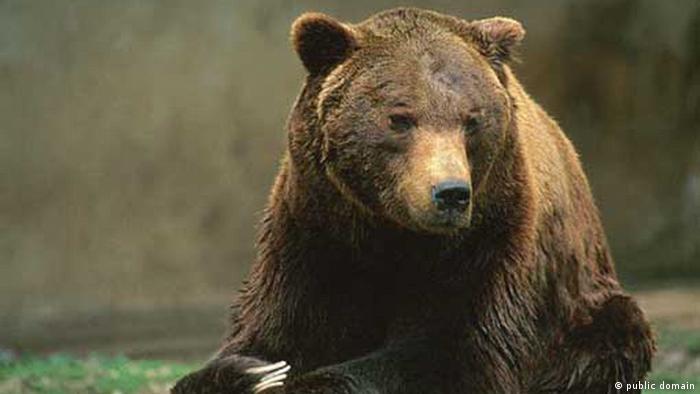 Marsican Brown Bear (Ursus arctos marsicanus) in a zoo.