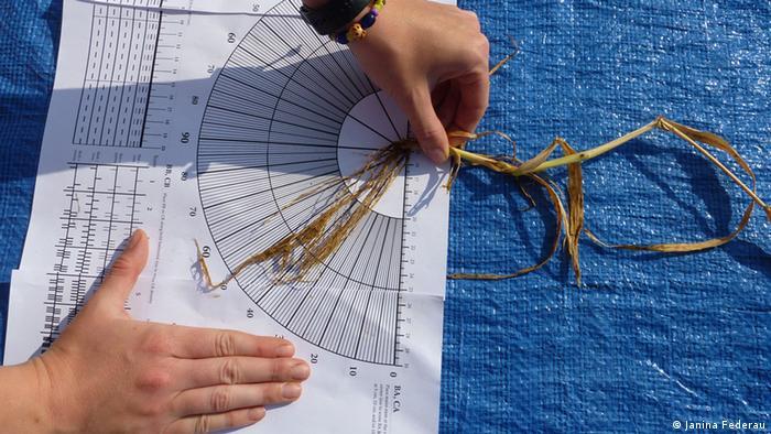 Forscher der Universität Bonn vermessen die Wurzeln von Getreibe aus einem Versuchsfeld. So erkennen sie Pflanzen, die unter bestimmten Bedingungen besonders gut wachsen. Ihr Ziel: Die Züchtung Salz- und Trockenheitsresistenter Pflanzen (Foto: Janina Federau) copyright: Janina Federauzugeliefert von: Fabian Schmidt