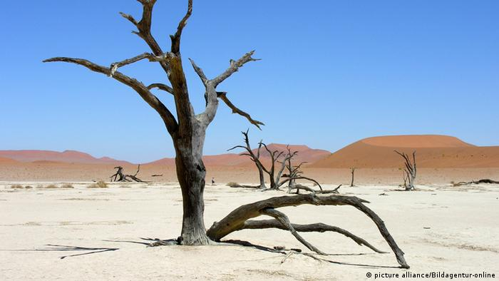 Dries trees in the Namibian desert