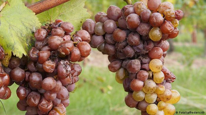 Grapes infected with downy mildew © Fotolia/frederic49
