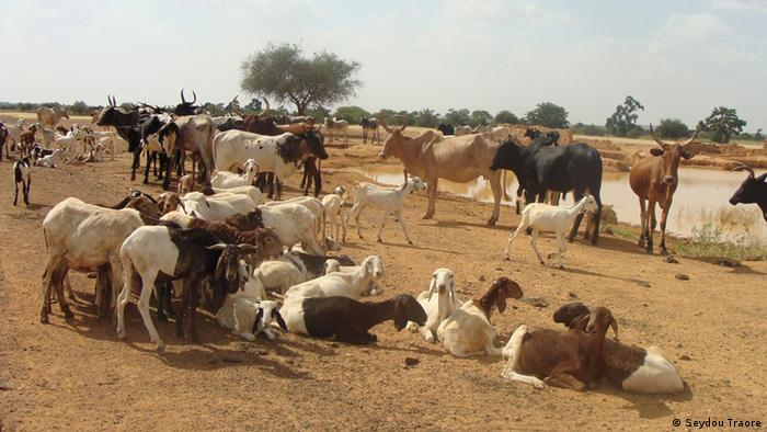 Sheep and cattle at a water point in Sahel Region, Northern Burkina Faso. (Photo credit: Seydou Traore)