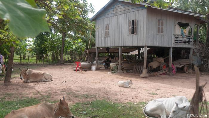 A traditional Cambodian house, on stilts, with space underneath for storage and keeping animals. Some cows are in the foreground (photo: Kyle James)