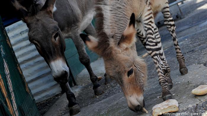 Der Zesel Ippo im florentiner Zoo