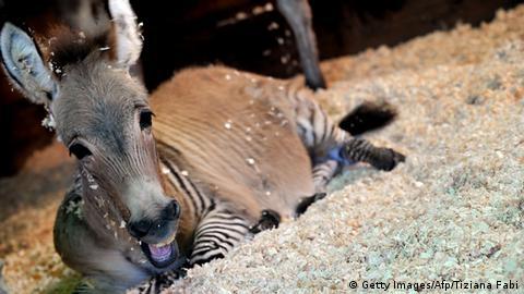 zebra jagt pferdestute