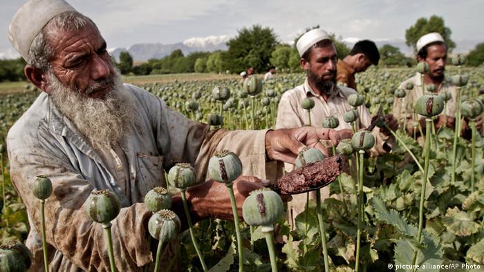 Афганские крестьяне на поле, где растет опийный мак