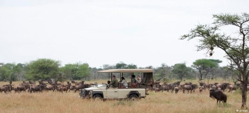 Four people ride in a jeep through a herd of wildebeest.