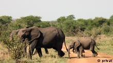 Zwei ausgewachsene und zwei junge Elefanten überqueren einen Weg. *** Nur für My DW zu verwenden ***