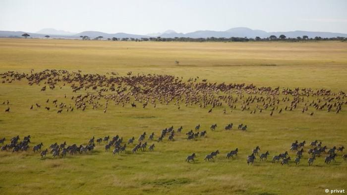 the big herds of animals migrating from one side of the Serengeti to the other
