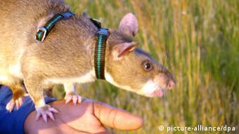 Ratten helfen bei der Minenräumung