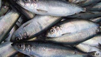 Hering Fischerei in der Ostsee
