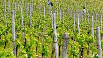 a field covered with wine