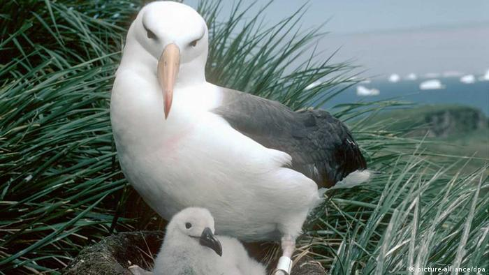 A black and white albatross with chick (Photo: British Antarctic Survey)
