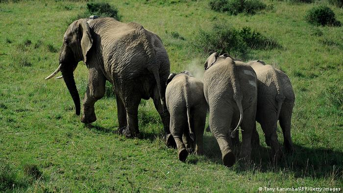 Elephants walking around in Kenya