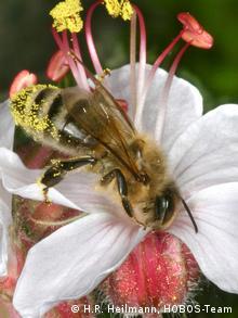 Honigbiene HOBOS Verhaltensbiologie