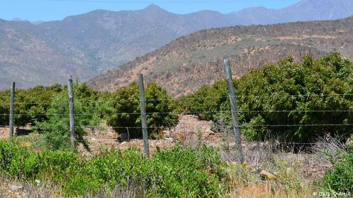 Los árboles verdes de palta o aguacate, contrastan con el entorno árido.