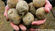 Genveränderte Kartoffel Amflora
