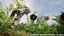 Marokko Cannabis Anbau Archiv 2006